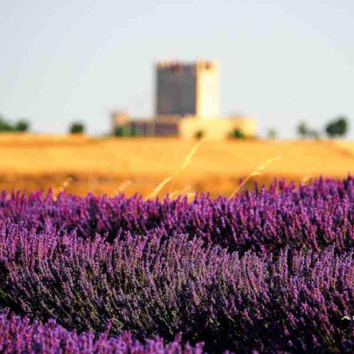 Campos de lavanda y castillo de Tiedra en Valladolid