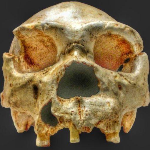 Fósil Atapuerca